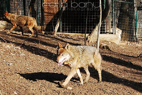 lupi romanesti zoo