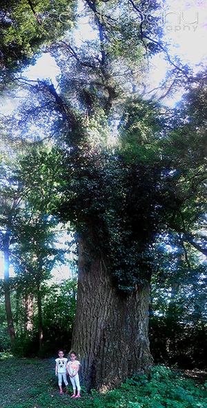 Arboretumul Simeria plop gigant.