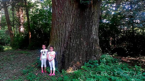 Arboretumul Simeria tunchi de plop gigant.