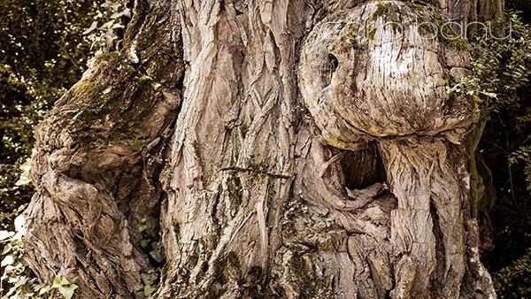 Salcâm de 260 de ani, Arboretumul Simeria