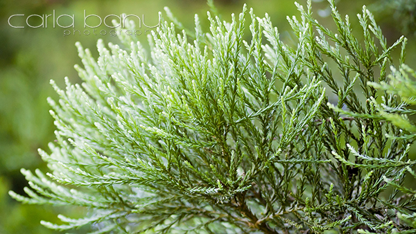 Detaliu frunze Sequoia Arboretumul Simeria