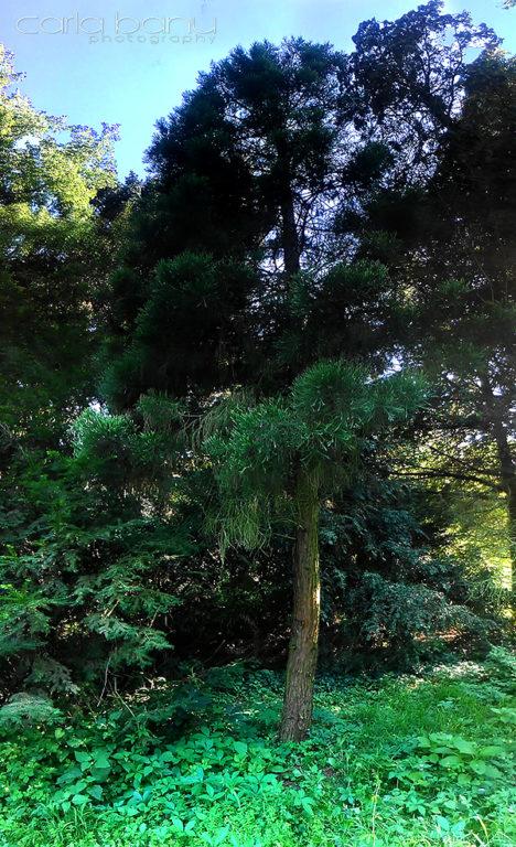 Sequoia Arboretumul Simeria